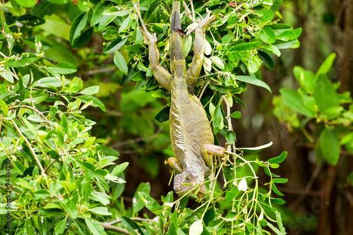 Poster Landschappen Male Iguana In The Wild