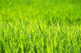 Fototapety Green grass