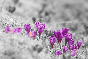 abstract view of spring crocuses © taviphoto