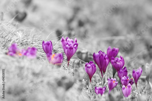 abstract view of spring crocuses - 94508115