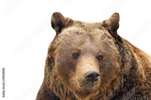 Fotobehang Leeuw big brown bear portrait over white