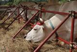 allevamento bovini razza chianina