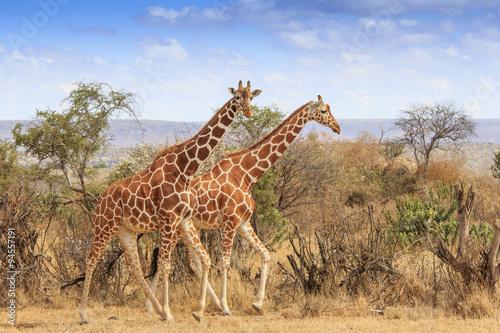 Fototapeta Reticulated Giraffe