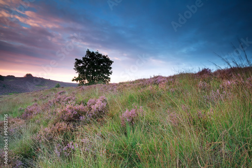 flowering heather on hill at sunrise - 94582716