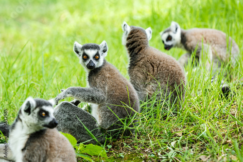 Poster ring-tailed lemur family on the grass