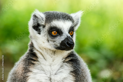 Lovely ring-tailed lemur face close up Plakat