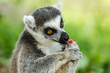 Lovely ring-tailed lemur face close up