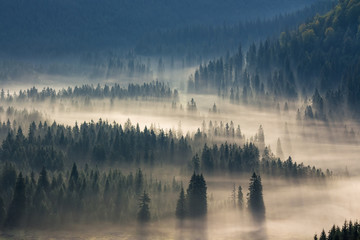spruce trees down the hill  to coniferous forest in fog at sunrise