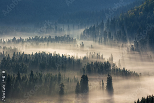 obraz lub plakat spruce trees down the hill to coniferous forest in fog at sunrise