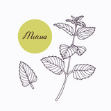 Hand drawn melissa branch with leaves isolated on white - 94683186