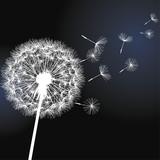 Flower dandelion on black background