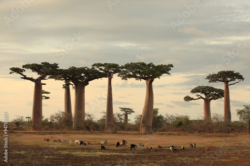 allee des baobabs and a herd of goats
