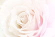 Colorful rose on soft background