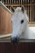 Obrazy na płótnie, fototapety, zdjęcia, fotoobrazy drukowane : A Beautiful White Horse in its Stable Box.