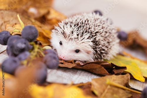 African pygmy hedgehog baby playing © tamara83