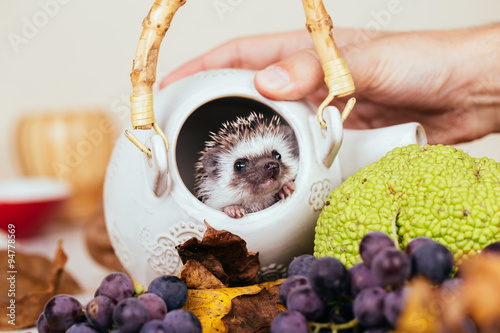 African pygmy hedgehog baby playing in a kettle. © tamara83