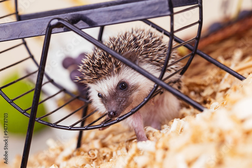 African pygmy hedgehog baby playing with a pet wheel. © tamara83