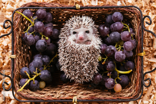 African pygmy hedgehog baby lying in a wooden basket between grape. © tamara83