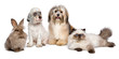 Quadro Group of young dogs, cat, rabbit in front of white