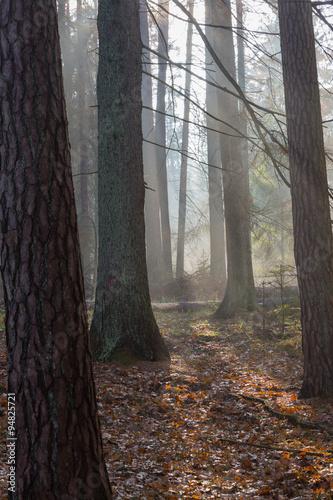 Zdjęcia na płótnie, fototapety na wymiar, obrazy na ścianę : Autumnal misty morning in the forest