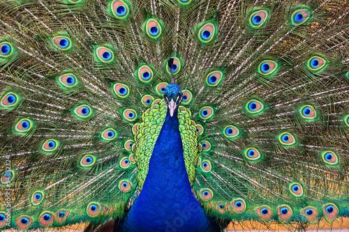 obraz PCV Peacock