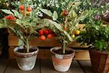 Piante di pomodori in vaso di terracotta