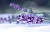 Fototapety Cloce up of lavender flower