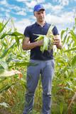 gathering corn on field