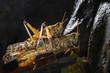 Постер, плакат: Пустынной саранчи Schistocerca gregaria Дикие животные