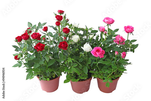 Zdjęcia na płótnie, fototapety, obrazy : Mini rosiers multicolors