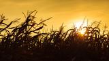 Corn field at the yellow sunset