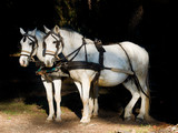 Couple of  white work horses with harness hitched to a wagon