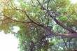 Obrazy na płótnie, fototapety, zdjęcia, fotoobrazy drukowane : tree branch of green leaves on a big tree, nature background