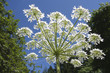 Giant Hogweed (Heracleum mantegazzianum), Gabriola, British Columbia, Canada. Hogweed is a poisonous plant