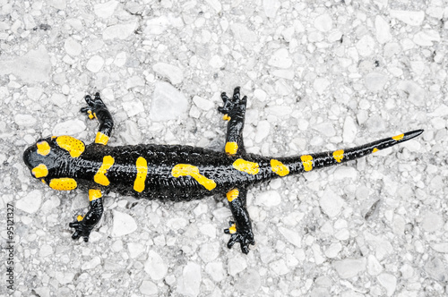 obraz lub plakat Black yellow spotted fire salamander