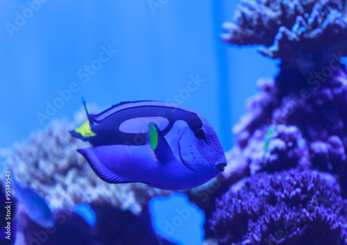 Palette tang fish paracanthurus hepatus is also called for Royal blue tang fish