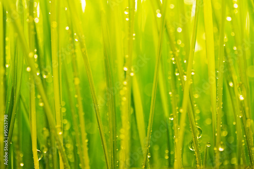 Panel Szklany Morning dew, green grass and water drops background