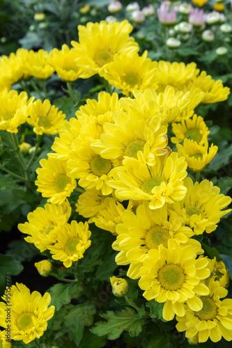 Papiers peints Azalea group of yellow flower