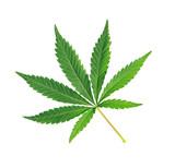 Fototapety Cannabis leaf, marijuana isolated over white background