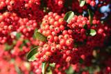 bacche rosse di Pyracantha. Cespuglio in autunno.