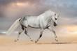 Beautiful grey horse run at sandy field