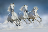 Fototapeta Horses - Three white horse run gallop in snow © callipso88