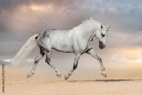 Beautiful grey horse run at sandy field Canvas
