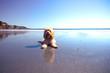 Cute Cockappo Puppy reflecting in Ocean Shore