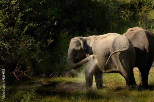 Poster Elephant Dust Bath