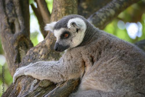 Poster ring-tailed lemur (lemur catta)
