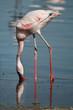Lesser Flamingo, Kenya, Lake Nakuru