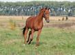 Obrazy na płótnie, fototapety, zdjęcia, fotoobrazy drukowane : Beautiful chestnut horse trotting at the green meadow