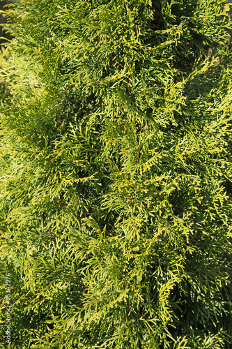 lebensbaum thuja stock photo and royalty free images. Black Bedroom Furniture Sets. Home Design Ideas