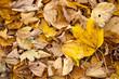 Herbst - Gelbes Laub